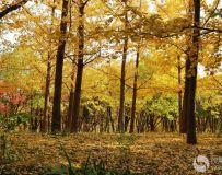 金秋北京奥森公园  红枫银杏彩叶飘飘(31)
