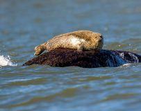 守望——斑海豹