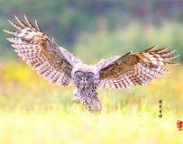 《锁定目标》—— 乌林鸮