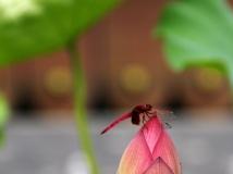 【走进万家园摄影大赛】小荷才露尖尖角 早有蜻蜓立上头