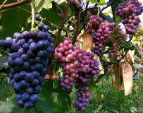 百亩葡萄大丰收