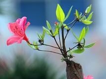 【银树沟杯】花开枝顶