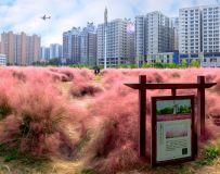 城市的风景——粉黛草(4)