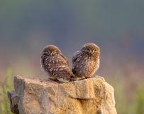 兄弟——纵纹腹小鸮