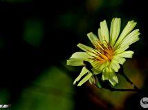 淡黄色的小花