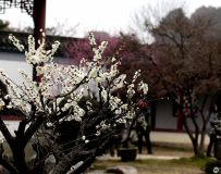 梅香溢庭院