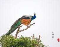 《枝头示美》—— 斯里兰卡蓝孔雀