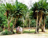 、西双版纳国家热带植物园千年铁王