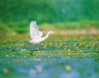 白鹭----花海踏浪去远方