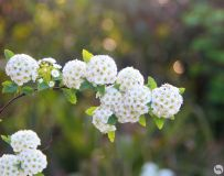 珍珠花--1