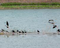 《绿色沙河鹬鸟来》
