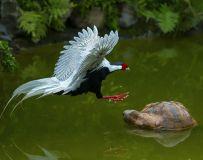 白鹇斗石龟