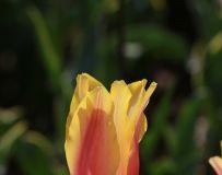 鲜艳的 郁金香