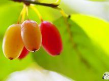 成熟的山茱萸果【4】