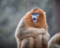 雪中金丝猴