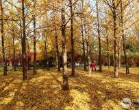 金秋北京奥森公园  红枫银杏彩叶飘飘(34)