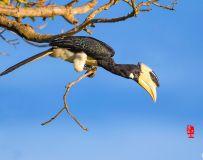 《枝头上的冠斑犀鸟》—— 斯里兰卡