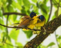 黄喉噪鹛----敬献爱心