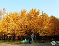 金秋北京奥森公园 红枫银杏彩叶飘飘(52)
