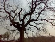 叫花沟的古树