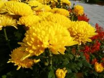 十一长假作业——秋菊篇