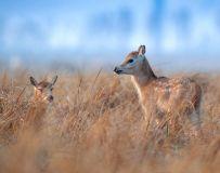 麋鹿----捉迷藏