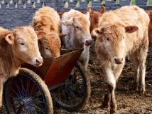 【走进移民新生活摄影大赛】——牛羊成圈奔小康(组图)