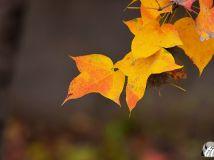 深秋的三角槭【7】