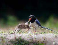鼠落平川被鸟欺