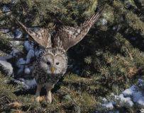 锁定目标——长耳林鸮