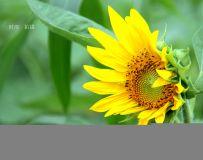 向日葵,花儿黄。
