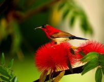 花蜜太阳鸟