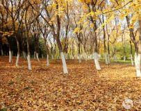 金秋北京奥森公园  红枫银杏彩叶飘飘(38)