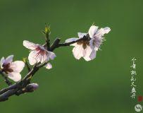 今年桃花又盛开1