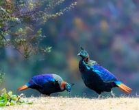 棕尾虹雉(2)