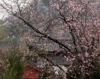 寺隐樱花中