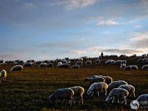 金秋牧羊图