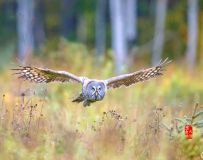 《密林丛中》—— 乌林鸮