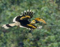 惊鸿------双角犀鸟