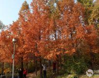 北京奥林匹克公园红杉树(2)