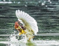 池鹭.捕获2(拍鸟习作)