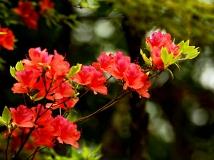 银树沟杯杜鹃花开红艳艳