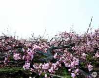 在那桃花盛开的地方/白牛