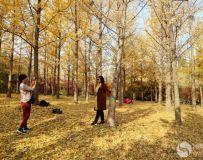 金秋北京奥森公园  红枫银杏彩叶飘飘(35)