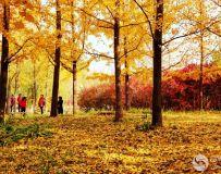 金秋北京奥森公园  红枫银杏彩叶飘飘(32)