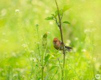 湿地的小鸟也优雅--棕头鸦雀