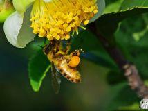 茶花上的蜜蜂