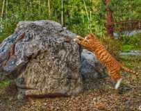 猫咪与石头较量