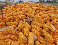 丰收之年(玉米)