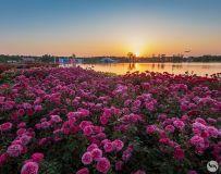 月季花开 美丽南阳